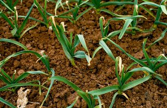 Leaf marking on a field of leeks (Allium porrum)