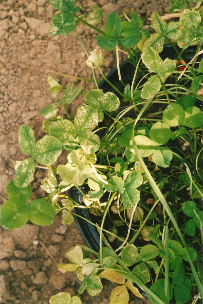 Ozone damage - White Clover 'Trifolium repens'